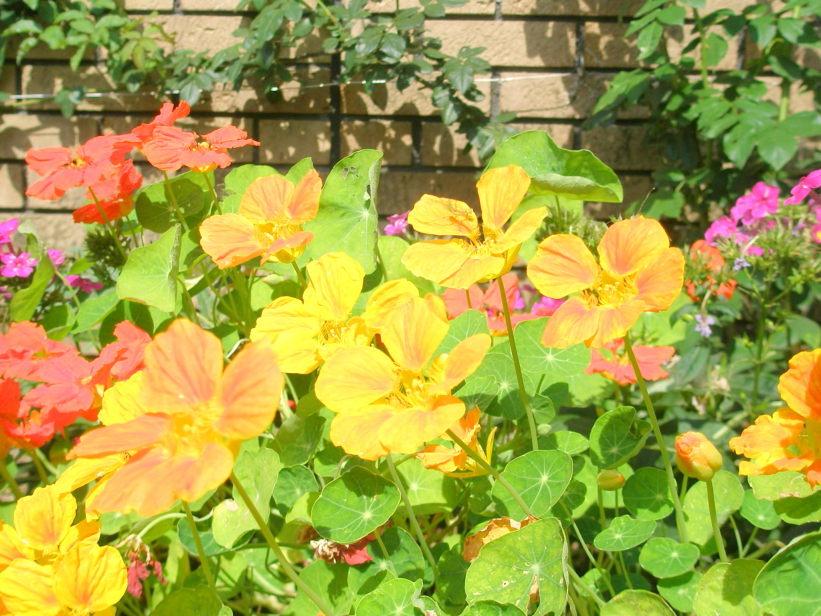 キンレンカ花写真 アメリカ山公園に咲く様々な色のキンレンカの花写真(撮影2013.6.7) キン